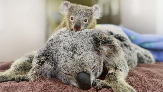 Этот детеныш коалы неотходил отсвоей мамы нинаминуту вовремя операции