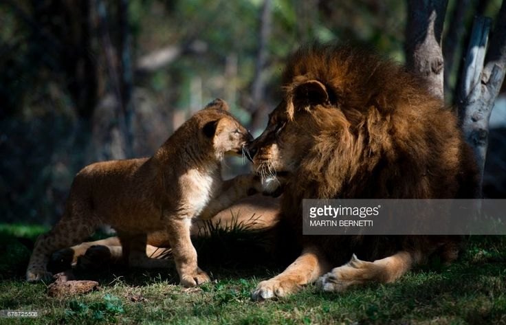 A Chilean lion named Maucho greets one of his cubs in the Buin zoo, 40 km south of Santiago, on May 4, 2017. Surgery to reverse the lion's vasectomy made it possible for him to breed again, after a pioneering medical procedure that could help the reproduction of endangered species. / AFP PHOTO / Martin BERNETTI