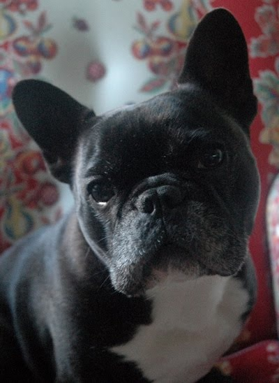 Sweet French Bulldog