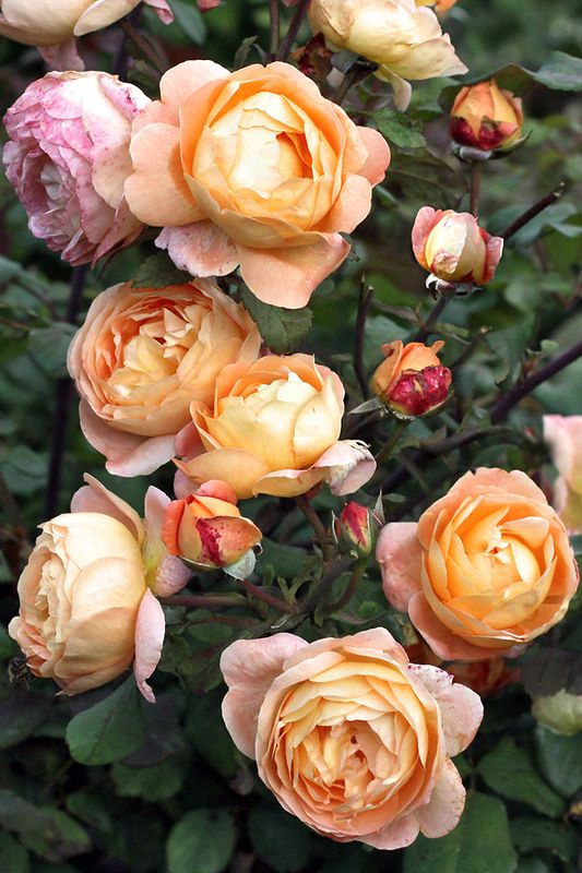 'Lady Emma Hamilton'| David Austin English Rose. Austin, 2005. Really not sure about the colour but the scent takes your breath away.