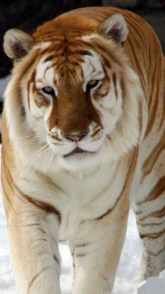 Wow. Beautiful Bengal Tiger... #PersonalLeadership #GKMTNconsults