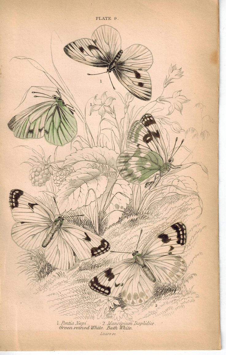 Green-veined & Bath White Butterfly 1835 Hand Colored Jardine Duncan Print