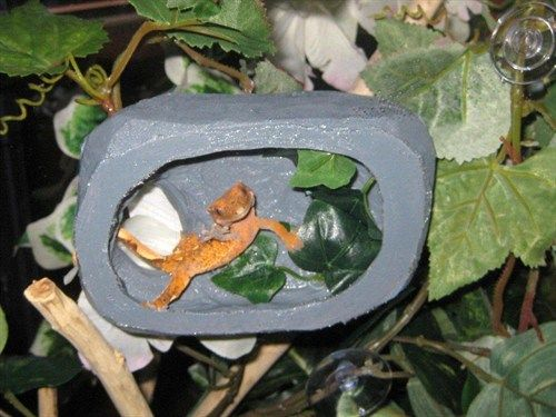Mocha the crested gecko having fun in her canopy hide.