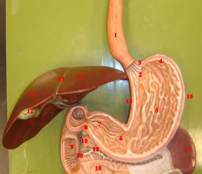 221 Best Digestive Diagrams Images On Pinterest