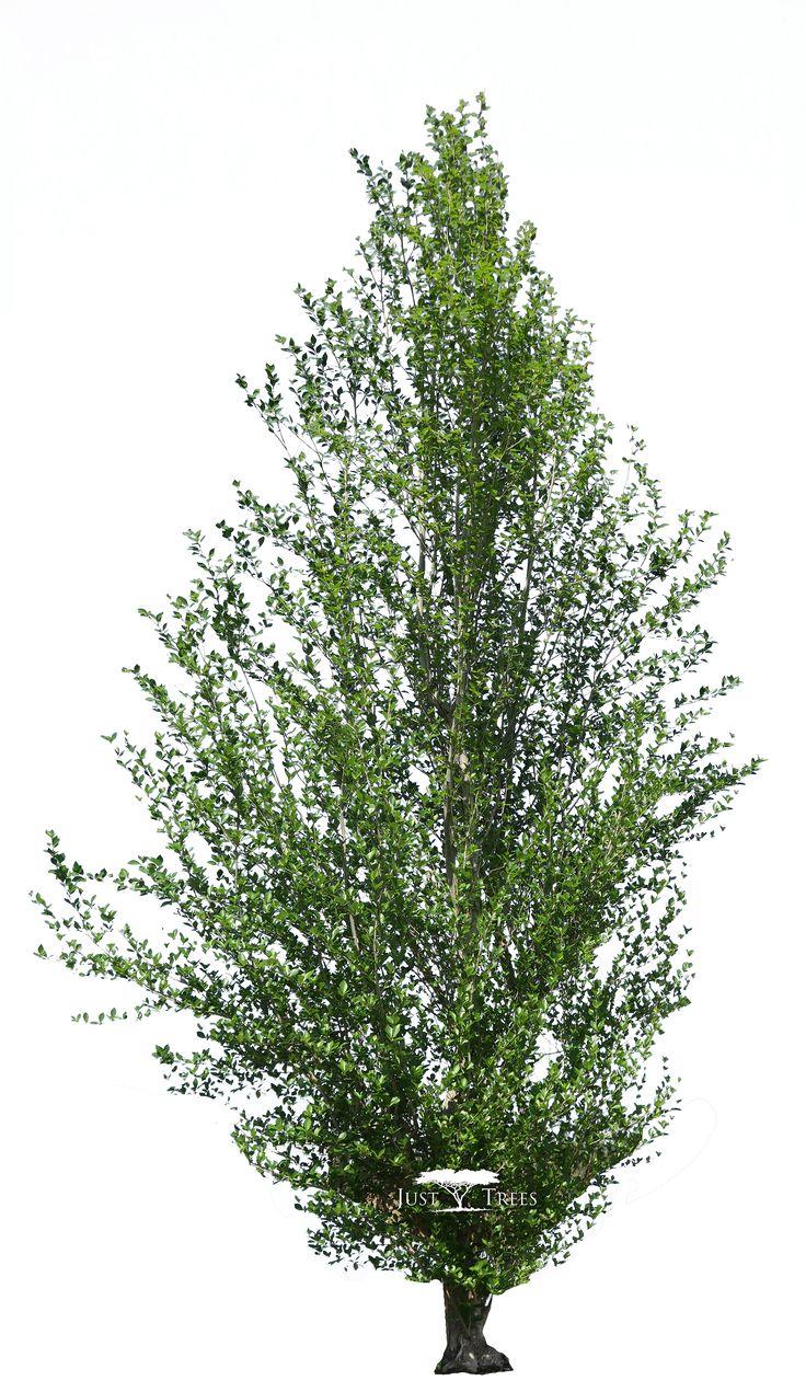 Populus simonii | Common name: Chinese Poplar | Spring 1