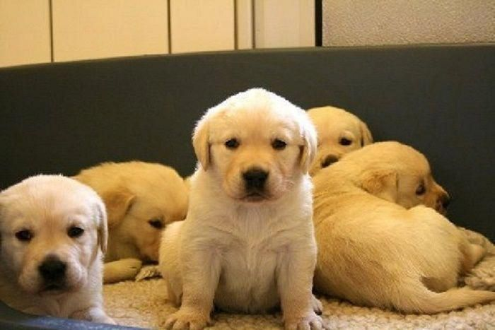Banana Labrador Retriever Pups 1 Labradorretrieveryellow Lab
