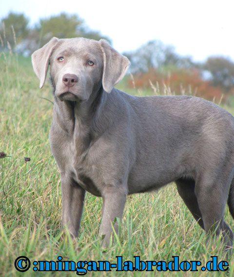Mingan Labrador Galergie der Silber und light Silber Labrador Welpen - mingan-labrador: Labradore in Silber, Charcoal, Champagner, Braun