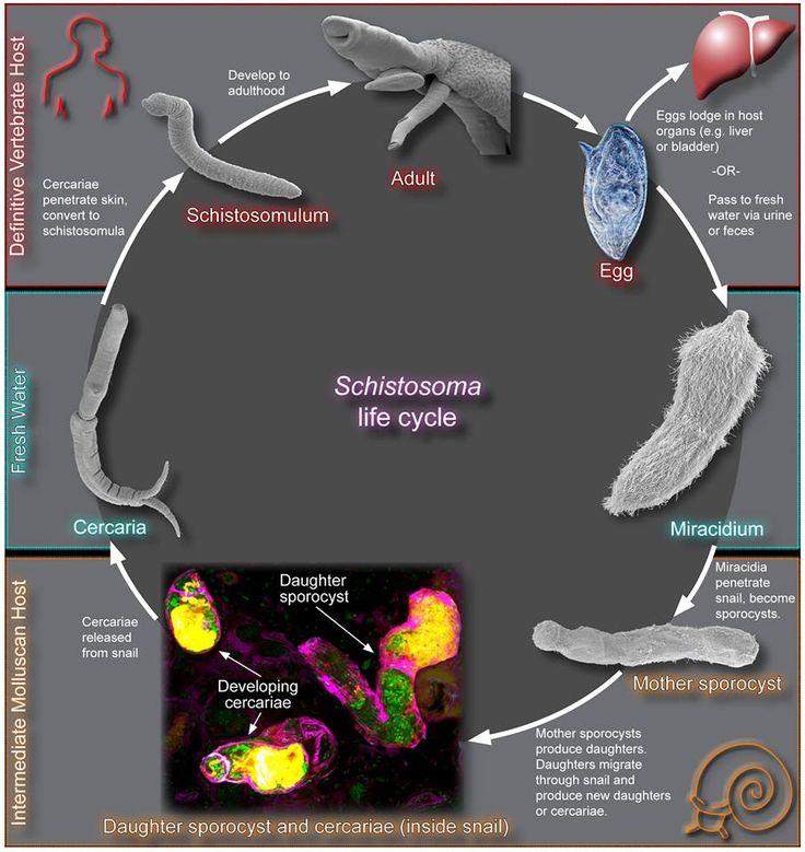 Schistosoma Life Cycle Diagram, Schistosoma, Free Engine ...