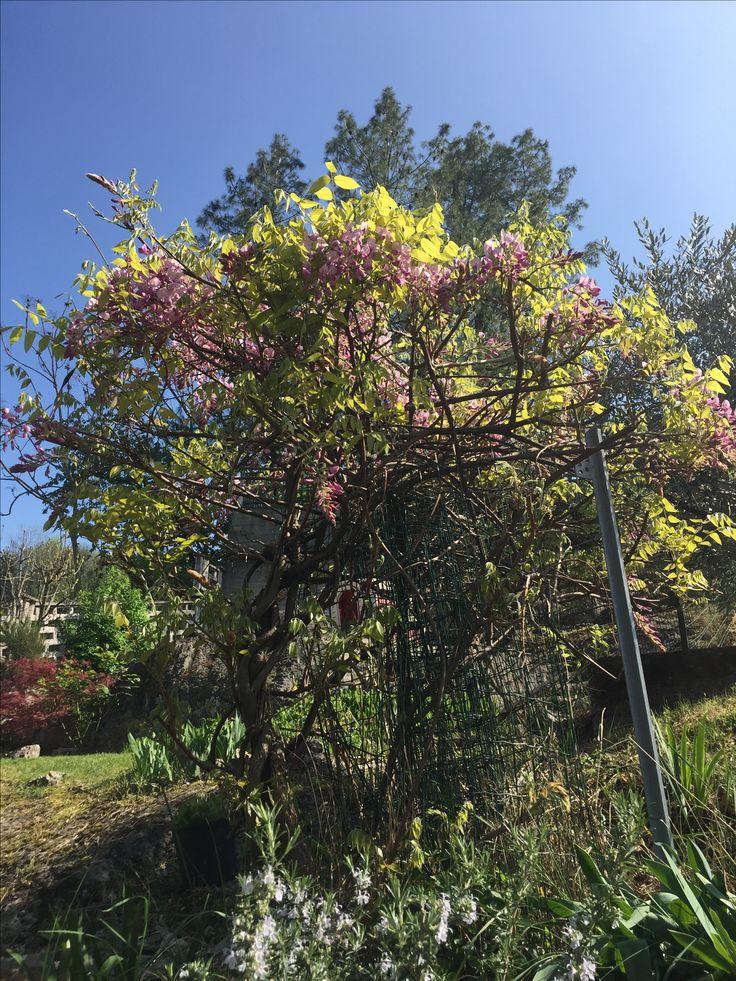 Glicine rosa in fiore