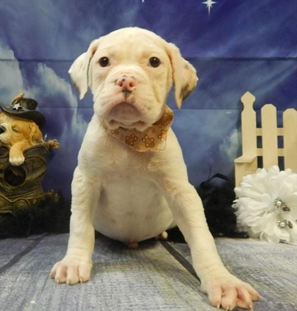 Litter of 2 American Bulldog puppies for sale in CHICAGO, IL. ADN-22661 on PuppyFinder.com Gender: Male(s) and Female(s). Age: 9 Weeks Old