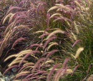 Pruning Ornamental Grasses: How to Groom and Control Your Native Grasses: Pennisetum Setaceum: A Grass for All Seasons