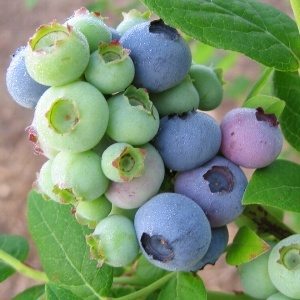 Half Highbush Blueberry Chippewa http://berryslife.com