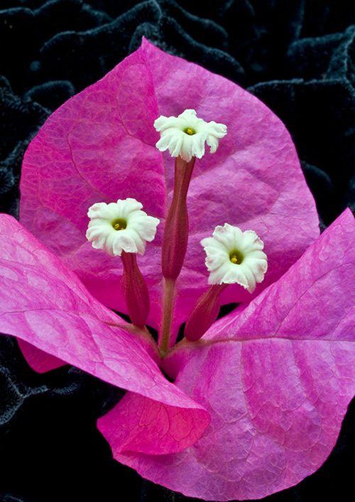 Flor de la buganbillia