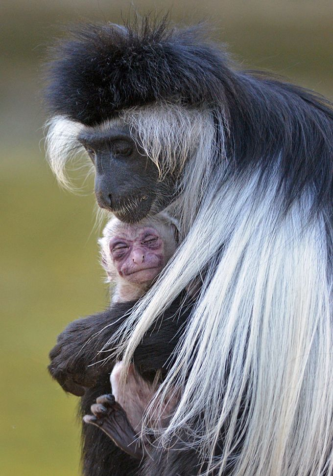 """A female Angolan Colobus monkey, holds her newborn offspring."