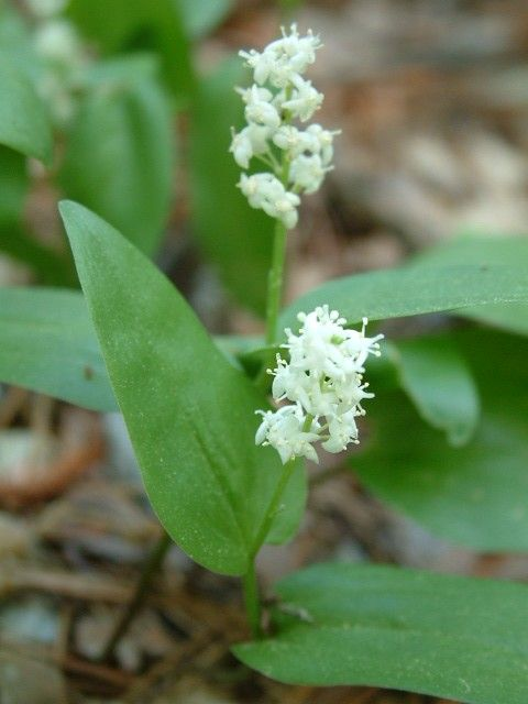 False lily-of-the-valley - Maianthemum canadense (Canada mayflower) - shade-loving ground cover? Along back path?