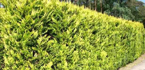 Laurel and Leylandii Hedging for Sale – Evergreen Hedging Plants | Hedgesonline.com