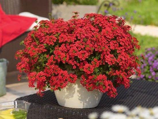вербена Tapien Compact Red  Вербена ампельная травянистое растение со свисающими стеблями длиной до 60 см, не зимующий многолетник. Любит тепло и свет, спокойно переносит засуху и небольшие заморозки. Хороша как «соло», а также сочетается практически со всеми летними растениями. Ее высаживают в цветники, миксбордеры, в кашпо,
