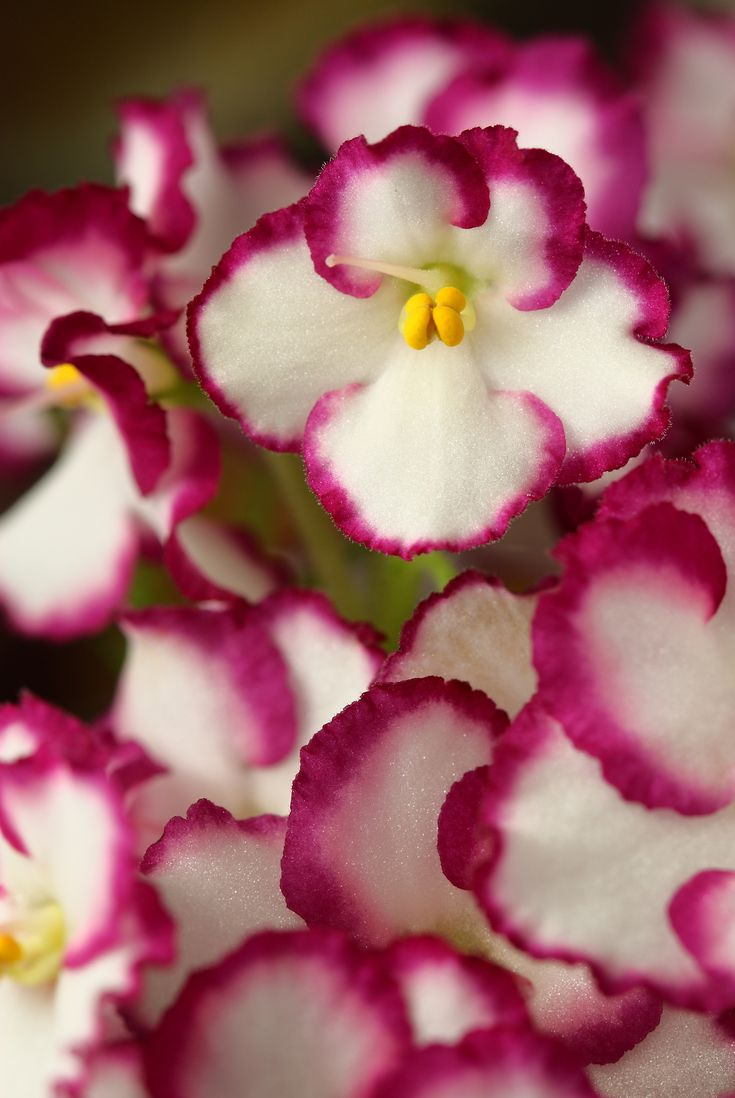 This Photo Of An African Violet Used A Relatively Short Depth Of Field  (area From
