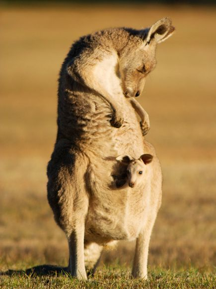 Kangaroo and Joey, Australia -  Photograph by Robert Parviainen, My Shot.  A kangaroo mum with her baby in the pouch. Taken at Hanging Rock, outside Melbourne, Australia.