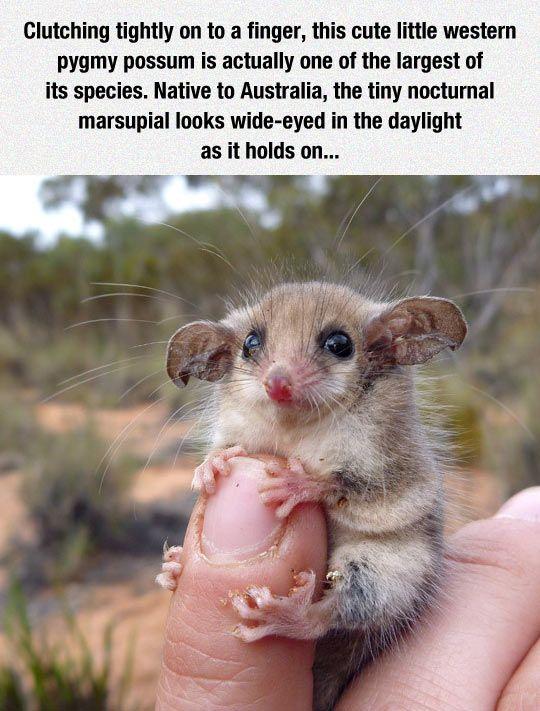 Meet The Nocturnal Marsupial