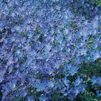 Blue Fusion Everblooming Hardy Geranium...Vivid clear blue with tinged pink centers. Hardy geraniums are low-maintenance perennials ideal for borders, rock gardens or as a colorful ground cover.