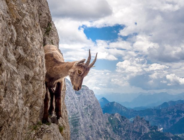 """The Alpine ibex was almost poached to extinction in the 19th century, but its numbers gradually increased in the early part of the 20th century after strict anti-poaching legislation was passed. Today, there are more than 20,000 ibexes spread across the Alps.  Mr Marsi said: """"I was really excited to be able to approach her almost as if she were a pet instead of a wild species."""""""
