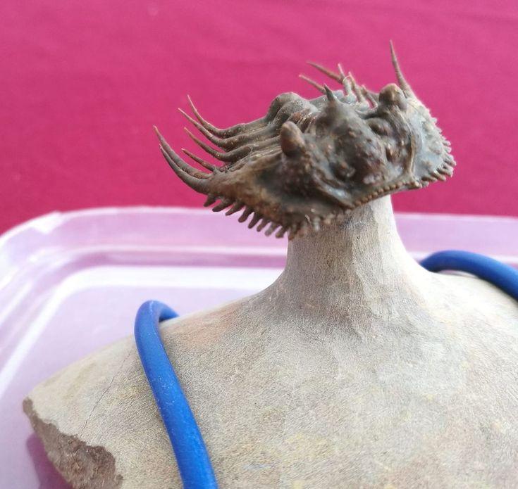 Top prep Kettneraspis sp. Fossil Trilobite. Devonian. Foum Zguid. Morocco. 3,5cm