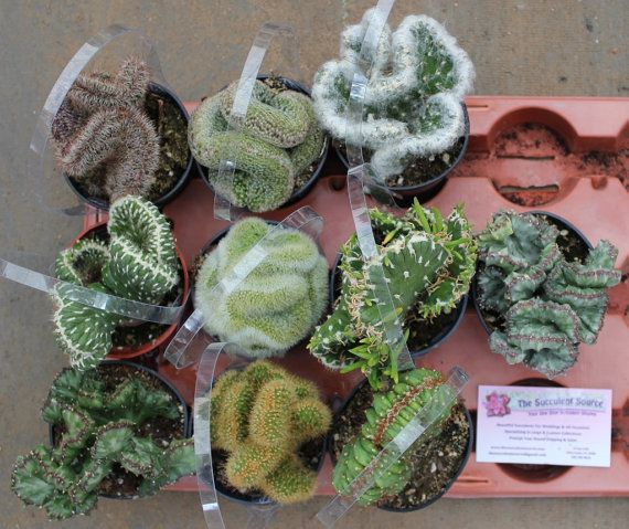 10 Crested Cactus For Sale in their 3.5 round  by SANPEDROCACTUS, $42.00