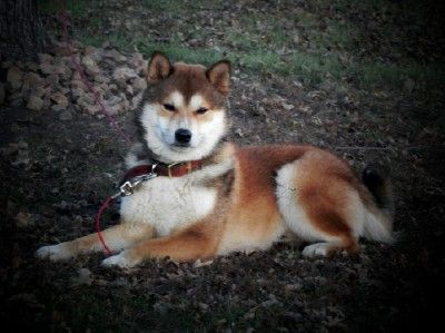 17 Best Husky Mix Images On Pinterest Husky Mix Beautiful Dogs And Puppies