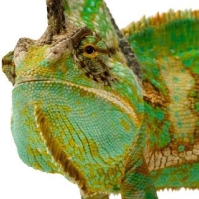 Chameleon Horns: 17 Best Images About Chameleons On Pinterest