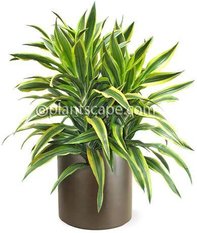 Warneck dracaena ~ Dracaena deremensis `Warneckii'