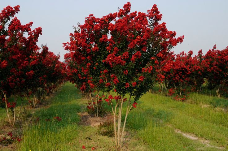 Red Rocket Crape Myrtle Want This For The Side Of The