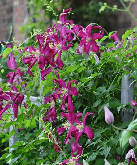 Everything you need to know about clematis care.