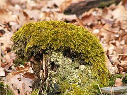Rokyt (Hypnum cupressiforme) Velmi rozšířený a mnohotvárný mech. Rokyt cypřišovitý je zelený až žlutohnědý mech.  Z postranních větví vyrůstá červený, asi 3 cm dlouhý zakřivený štět.   Tobolka je hnědá. Rokyt cypřišovitý je všeobecně rozšířený.  Nejčastěji se vyskytuje v lesích. V minulosti se sušený používal jako náplň do polštářů pro dobré spaní.