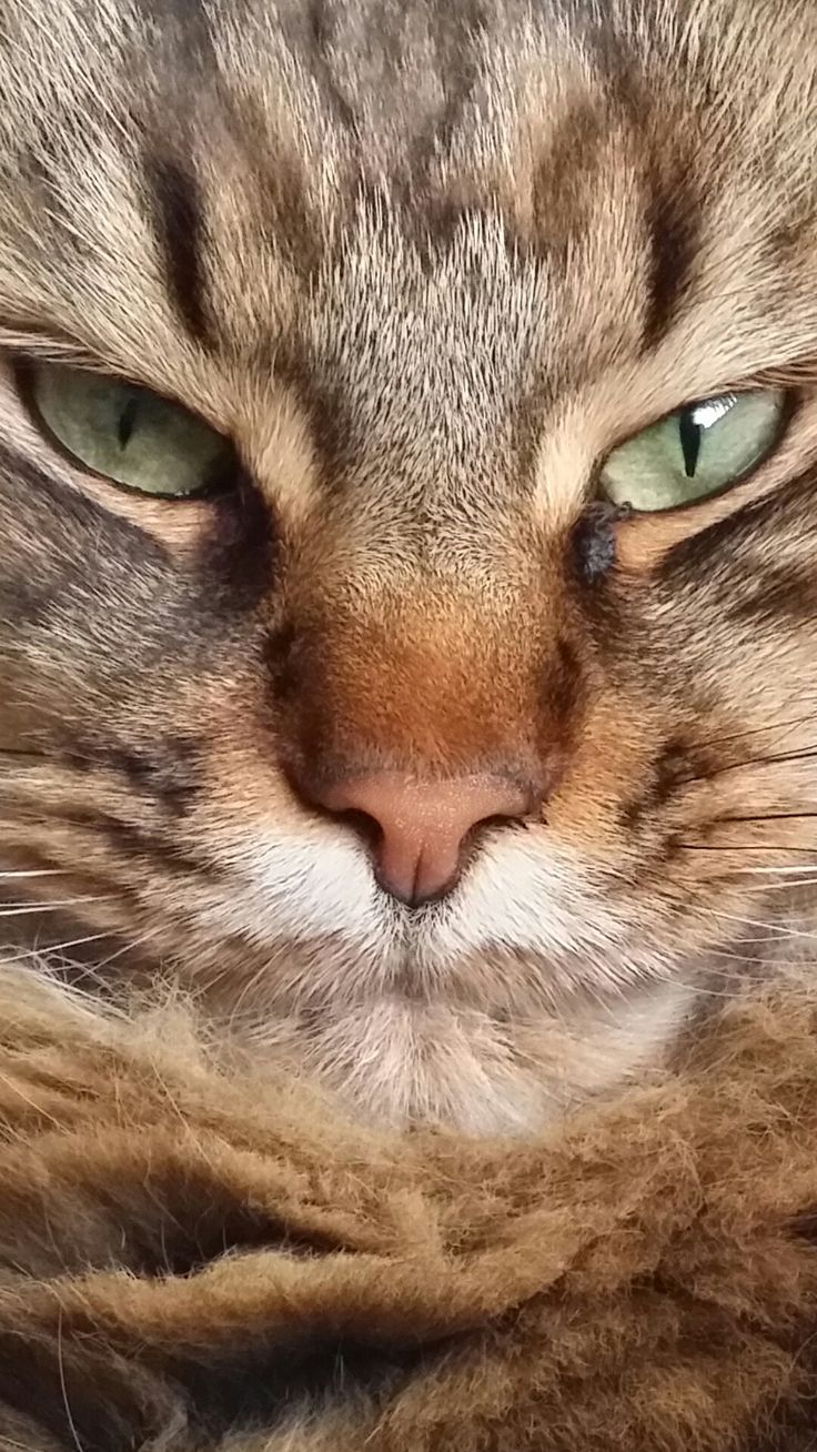 Close-up Jessy, Maine Coon (2,5)  Samsung Galaxy Note 3 (SM-N9005)