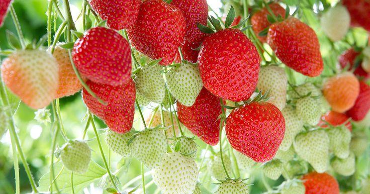 Heb je een kleine tuin of een klein terrasje? Zo kan je je groene vingers gebruiken en aardbeien (of andere plantjes) planten!