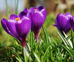 SHOP ALL CROCUS It's Spring, It's Spring, Hear the Crocus Sing Yes, we know. Crocuses don't actually sing. But their oh-so-welcome colors call out in almost aud