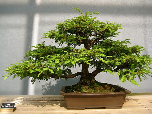 Bonsai is the Japanese term and loosely translates has tray (bon) growing or planting (sai).