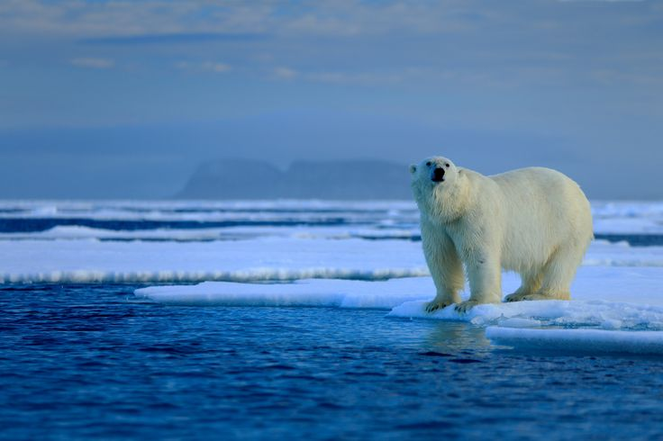 Wildlife, Arctic Svalbard