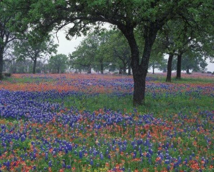 Google Image Result for http://us.123rf.com/400wm/400/400/williammanning/williammanning0911/williammanning091100029/5863824-wildflowers-coprire-il-paesaggio-texas-riempito-con-texas-bluebonnets-e-pennello-indiano-nella-hillc.jpg