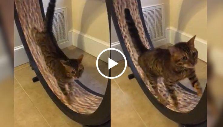 Cat Channels Inner Hamster, Exercises on Wheel Toy