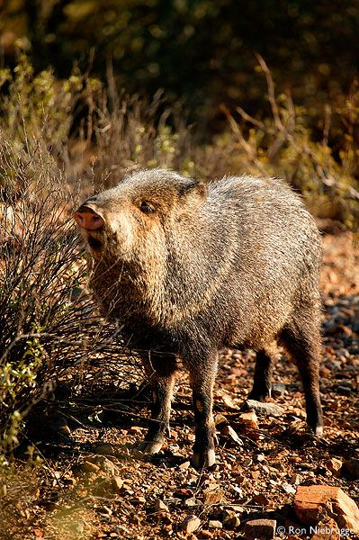 JAVELINA PHOTOS  Javelina (captive) Arizona-Sonora Desert Museum, Tucson Arizona.  Javelina's are not pigs and they can be dangerous.  They have tusks that grow to about 4' long.  Don't mess with 'em!  Tayassu tajacu
