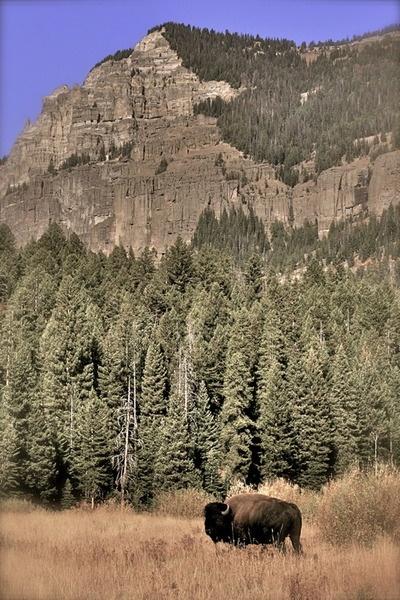 www.Filson.com | Lamar Valley, Yellowstone    #travel #destination #dream #beautiful #nature #bison #outdoors #natural