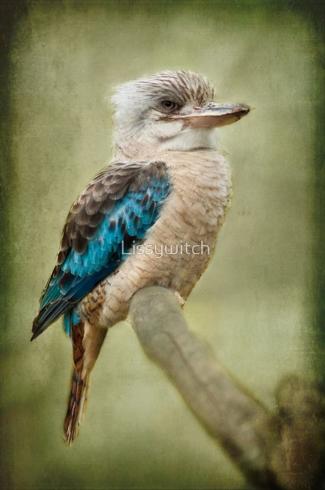 Kookaburra By Lissywitch Birds Australian Birds Pet Birds