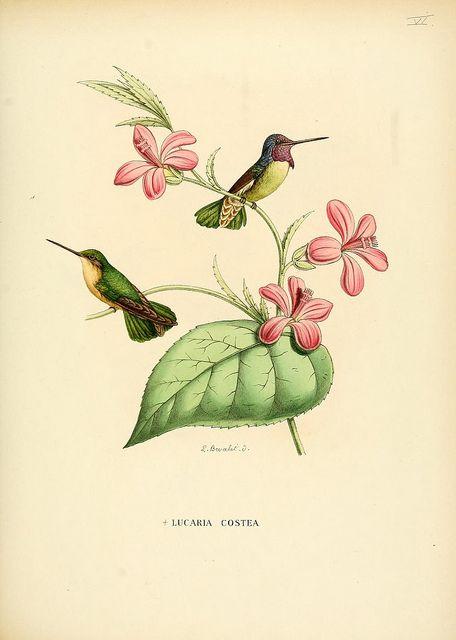 hummingbirds vintage print