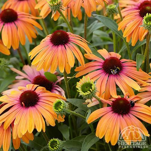 Echinacea Butterfly™ 'Rainbow Marcella'