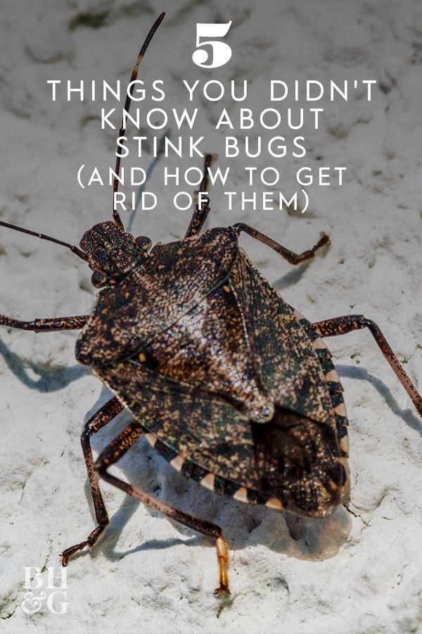 How To Get Rid Of Stink Bugs In My Home