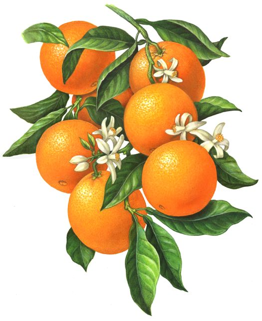 An orange branch illustration of six oranges with orange blossoms and leaves.