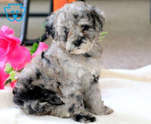 Puppy Finder Find Buy A Dog Today By Using Our Petfinder Puppy Finder Mini Puppies Dog Finder