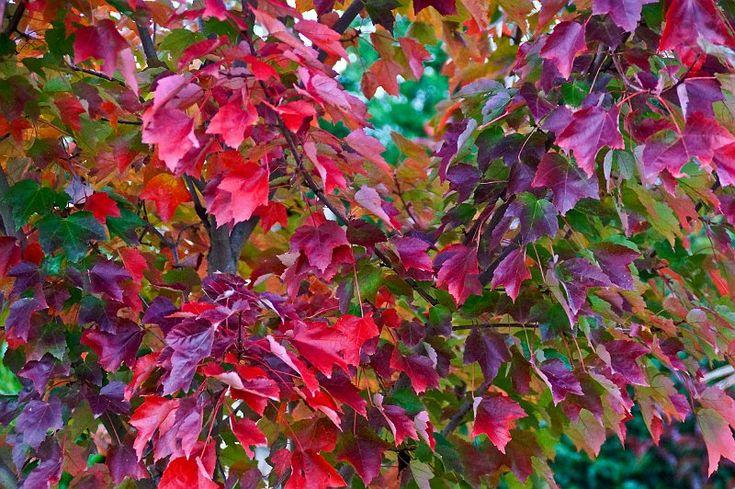 arbre acer rubrum fairview flame végétau rare